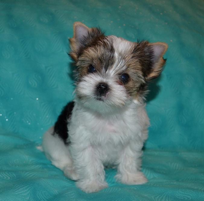 Mirage Yorkies - Mirage Yorkies - Yorkie Puppies for Sale in